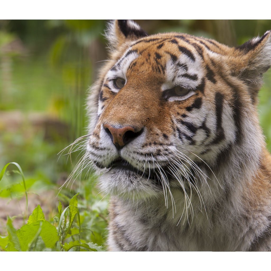 Meet the Tigers Gift Experience at ZSL Whipsnade Zoo