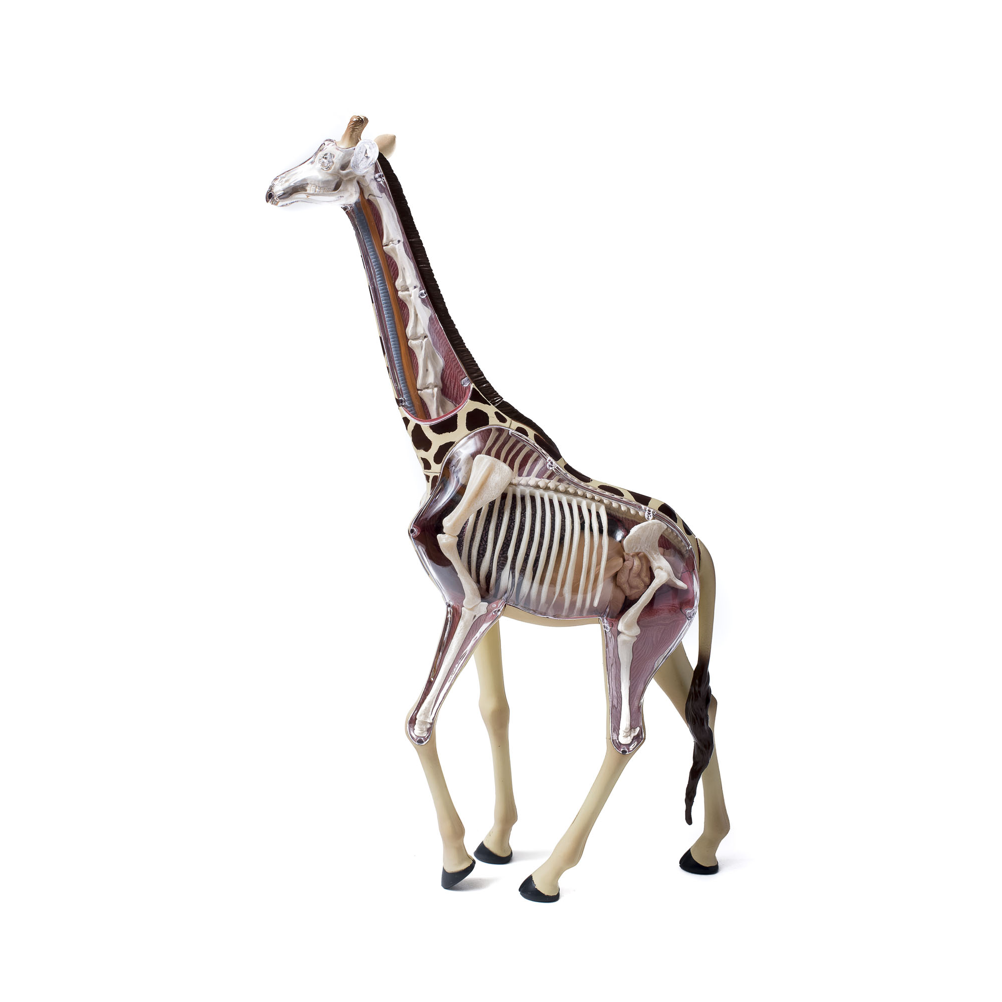 Giraffe anatomy model | ZSL Shop