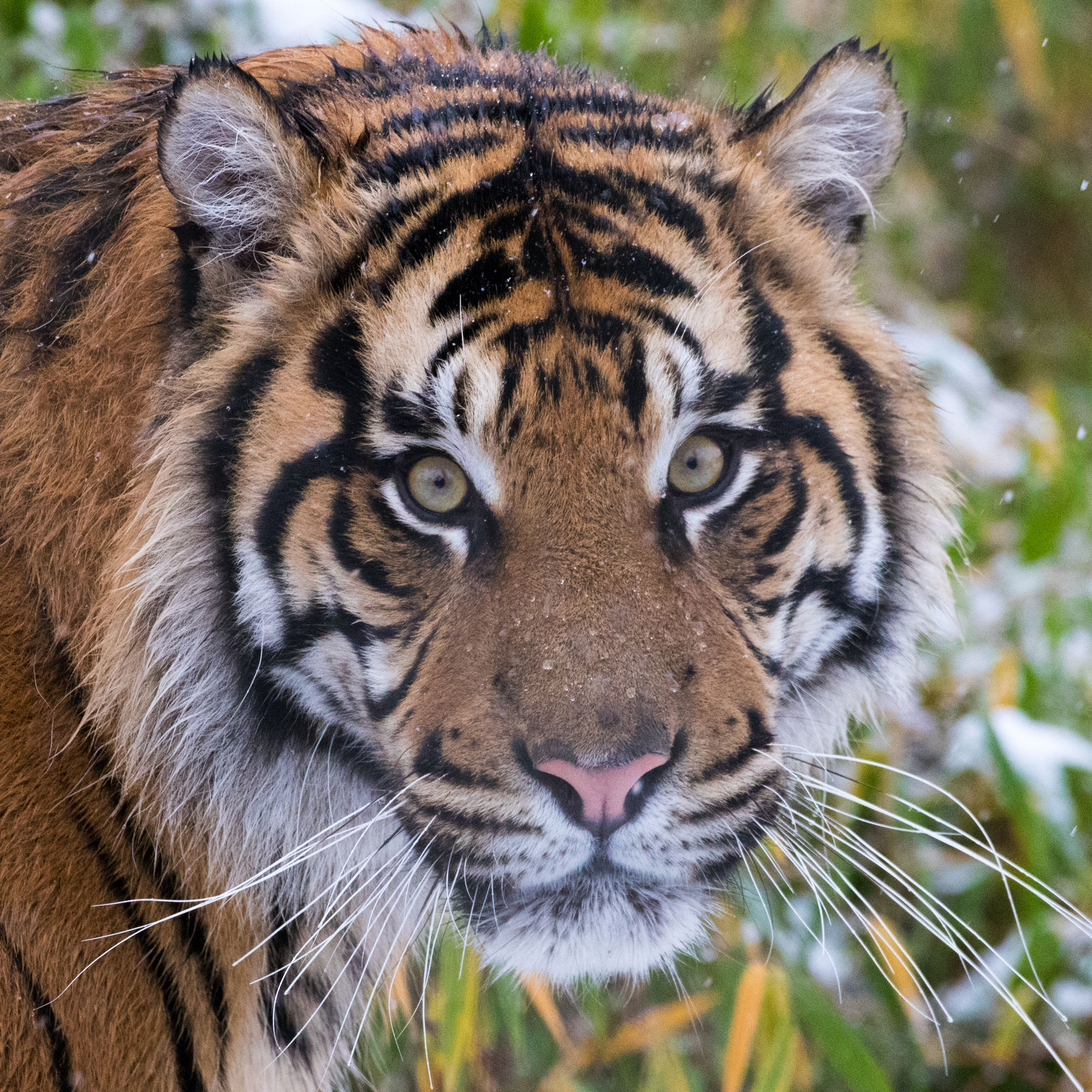 Adopt the Tigers | ZSL Shop