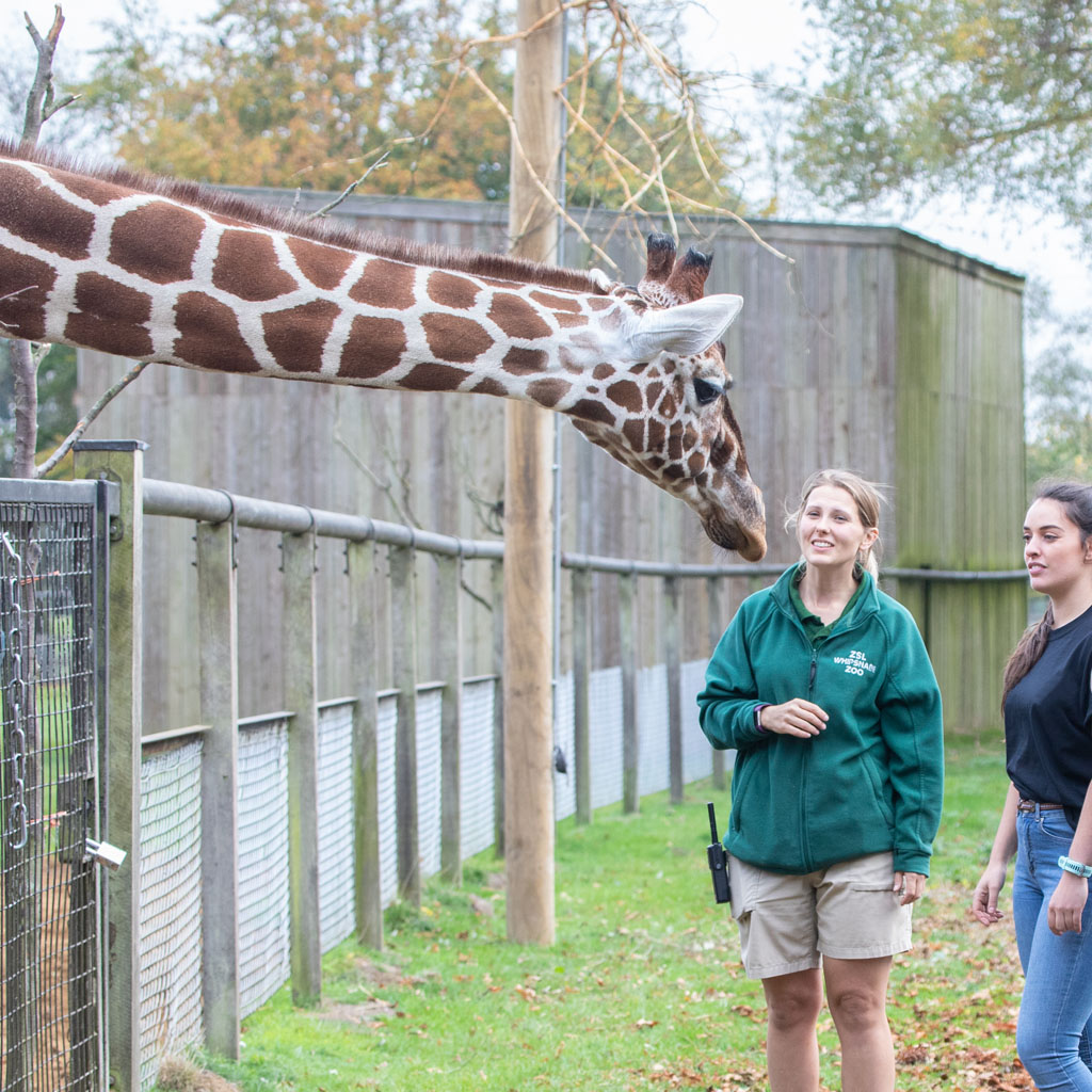 Meet the Giraffes Gift Experience at ZSL Whipsnade Zoo