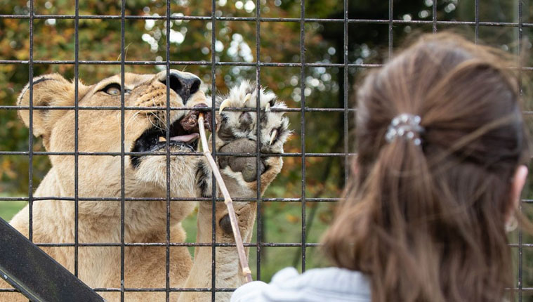 meet the lions at Whipsnade zoo