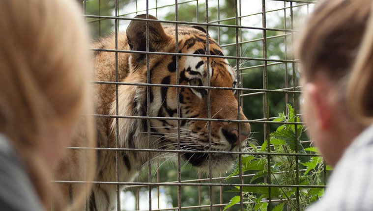 meet the tigers at whipsnade zoo