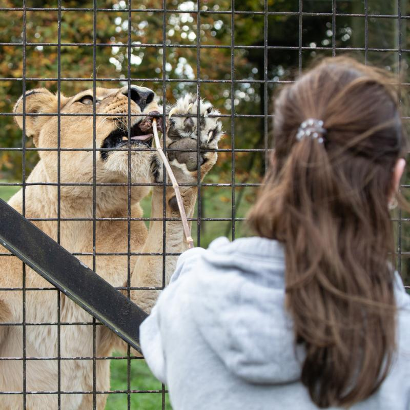 Meet the Lions Gift Experience at ZSL Whipsnade Zoo