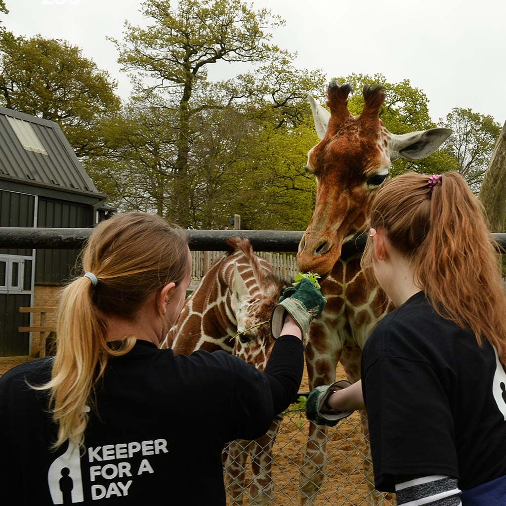 Keeper for a Day Gift Experience, ZSL Whipsnade Zoo Giraffe